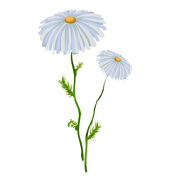 Chamomile flower vector