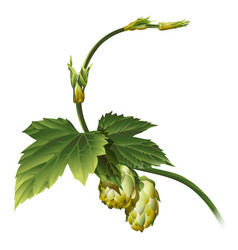 hop plant vector image vector image
