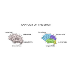 anatomy of the brain vector image