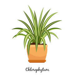 clorofitum plant in pot icon vector image