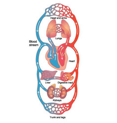 Diagram of circulatory system vector image