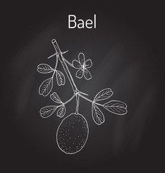 Bael aegle marmelos or bengal quince vector
