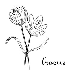 Crocus flower botany vector
