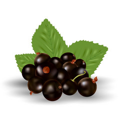 Berries of black currant with green leaves vector