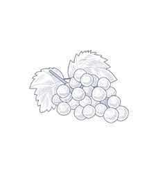 Fresh Grapes Hand Drawn Artistic Sketch vector image vector image