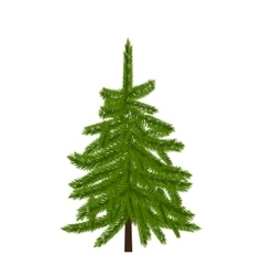 Green lush spruce pine or fir tree fir branches vector