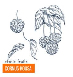 cornus kousa hand drawn vector image
