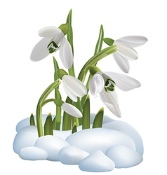 Spring snowdrop flowers on a snow vector