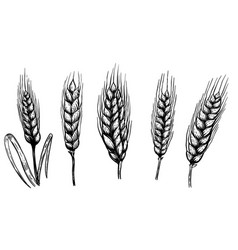 set of hand drawn wheat isolated on white vector image vector image