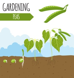 Garden peas plant growth vector