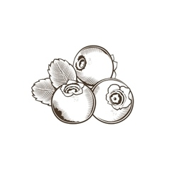 Bilberry in vintage style line art vector