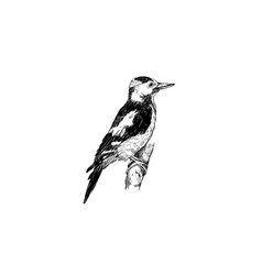Woodpecker sketch hand drawing woodpecker bird vector