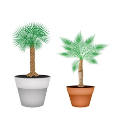 Two isometric palm trees in terracotta pots vector