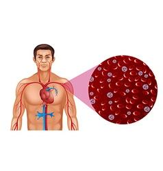 Blood circulation in human vector
