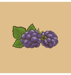 Blackberry in vintage style colored vector