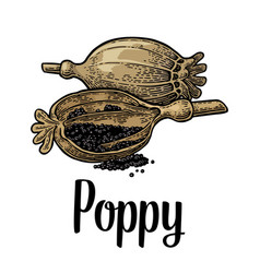 poppy heads and seeds black vintage vector image vector image