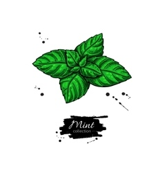Mint drawing isolated plant and leaves vector