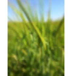 Blurred summer background with green rye vector