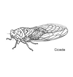 Drawing of cicada vector
