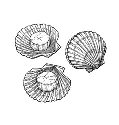 Scallops ink sketch vector