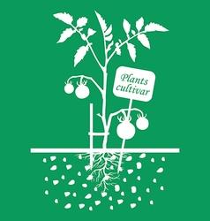 Tomato cultivar green vector