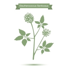 Eleutherococcus senticosus isolated plant on white vector