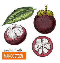 Mangosteen color vector