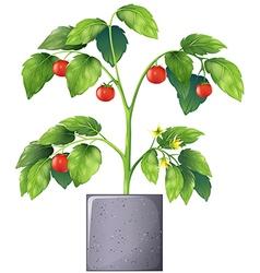 A tomato plant vector