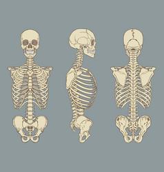 human torso skeletal anatomy pack vector image vector image