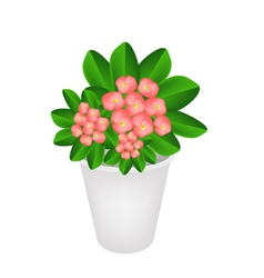 Fresh crown of thorns in a flower pot vector