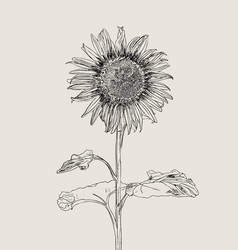 sunflower set of hand drawn sunflowers and leaves vector image vector image