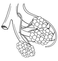 Human alveoli vector