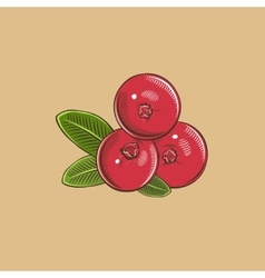 Cranberry in vintage style colored vector