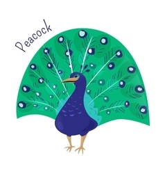 Cartoon peacock isolated on white vector image vector image