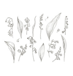 Gorgeous drawing of lily of the valley parts - vector
