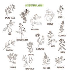 Best antibacterial herbs vector