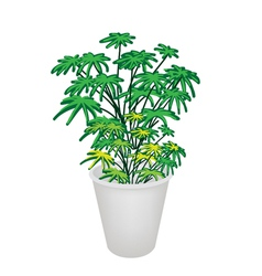 Evergreen plant in flower pot vector