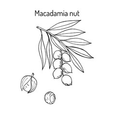 macadamia nut branch vector image
