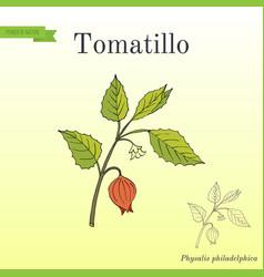 Tomatillo physalis philadelphica or husk tomato vector