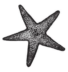 Spiny sea star vintage vector