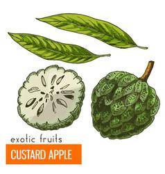 custard apple color vector image