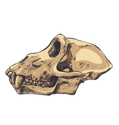 a monkey skull on background vector image