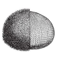 European edible sea urchin vintage vector