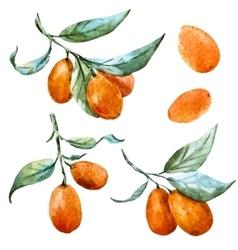 Watercolor tangerine vector