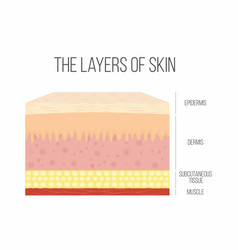 skin layers healthy normal human skin vector image