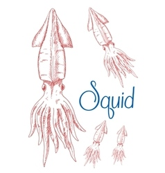 Sketches of greater hooked squid for nature design vector