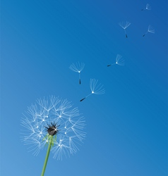 Dandelion white vector