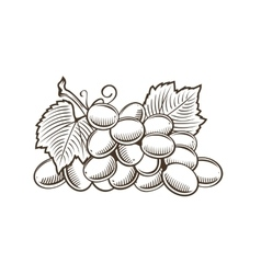 Grapes in vintage style line art vector