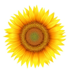 Flower of sunflower with leaves vector
