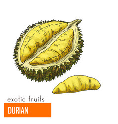 Durian color vector